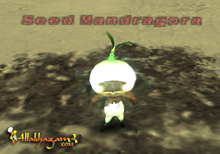 Seed Mandragora Picture